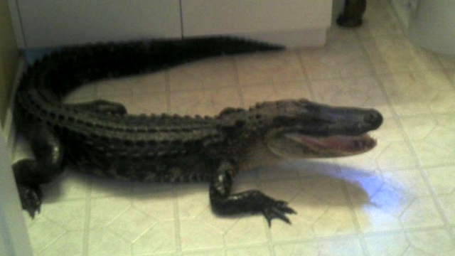 Florida Woman Finds 6-Foot Alligator in Bedroom