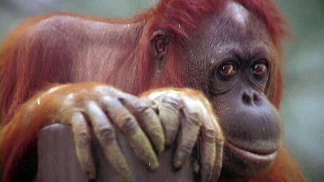 Orangutan diagnosed with cancer given weeks to live