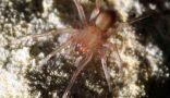 Редкий вид пауков, обнаруженный в городе Сан-Антонио, штат Техас, заставил власти