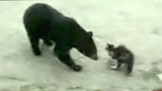 Cat Fights Bear Over Trash
