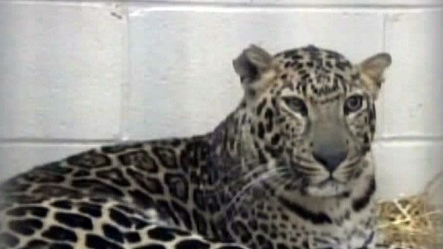 Spotted leopard euthanized at Ohio zoo