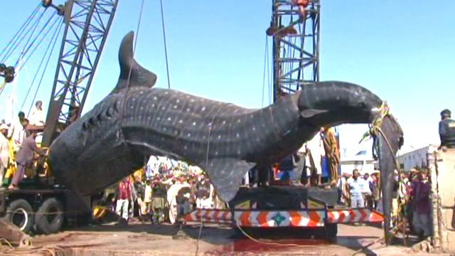 Catch of the Day: Massive whale shark caught| Latest News ...