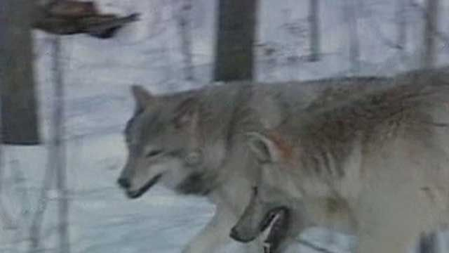 Idaho Gov. Wants More Federal Money to Hunt Wolves