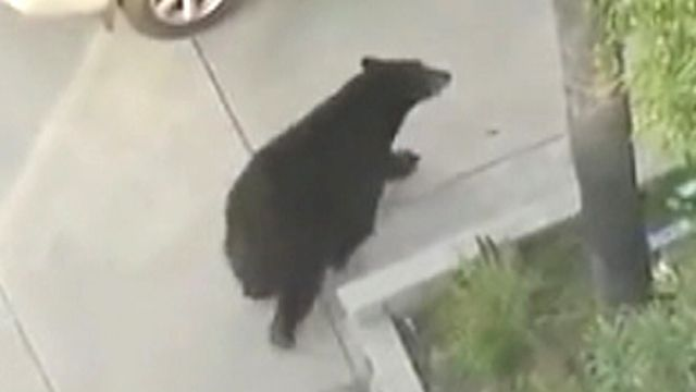 Black bear spooks distracted texter