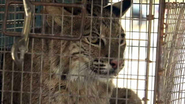 Injured bobcat bites women trying to help it