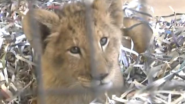 Adorable lion cub rescued by Washington zoo