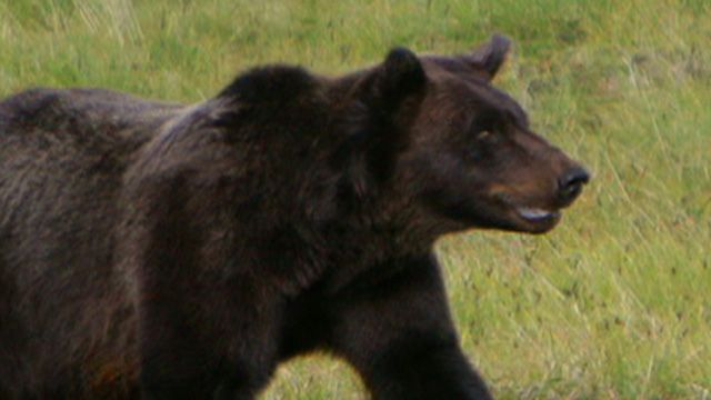 Bear Caught After Fatal Mauling
