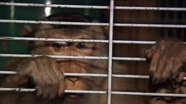 Monkey escapes owner's home, bites neighbor