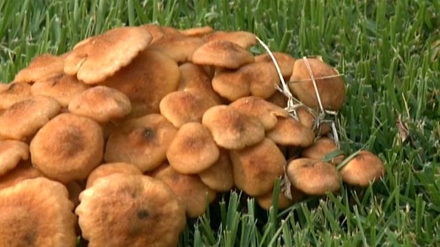 Could poisonous fungi be lurking in your yard?