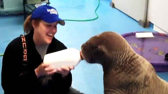Orphaned walrus pups rescued from Alaska