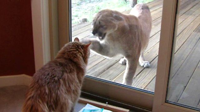 Faceoff: Cat vs. Mountain Lion